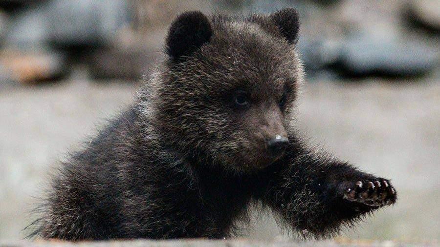 В столице России найден просидевший некоторое количество дней взапертой машине медвежонок