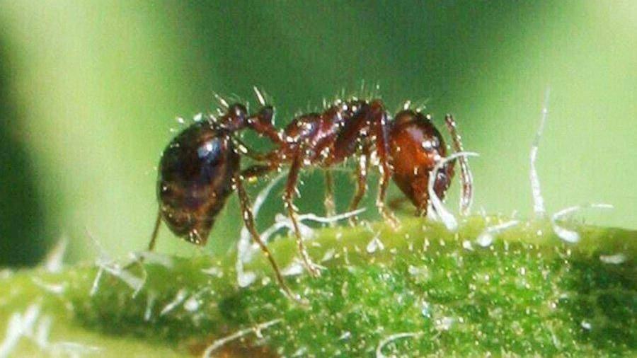 ВЯпонии появились смертельно опасные муравьи